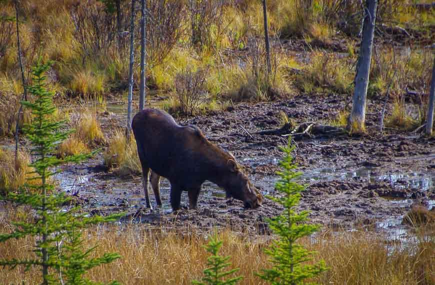You might spot a moose in the Vermillion Lakes area