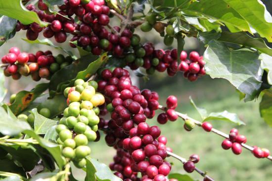 Thời điểm thích hợp nhất để thu hoạch cà phê arabica Cầu Đất Đà Lạt