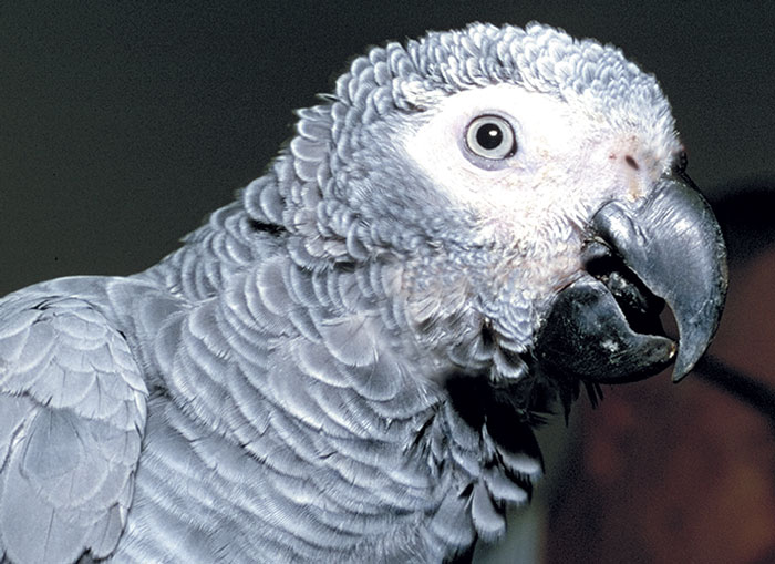 An African grey with epiphora from choanal atresia