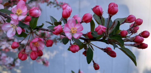 pink crabapple flowers and buds