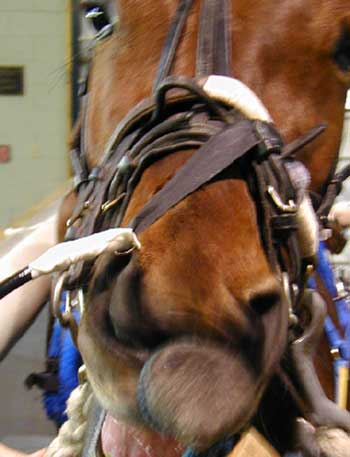 El endoscopio se fija con correas de Velcro a la banda nasal del cabestro del caballo.