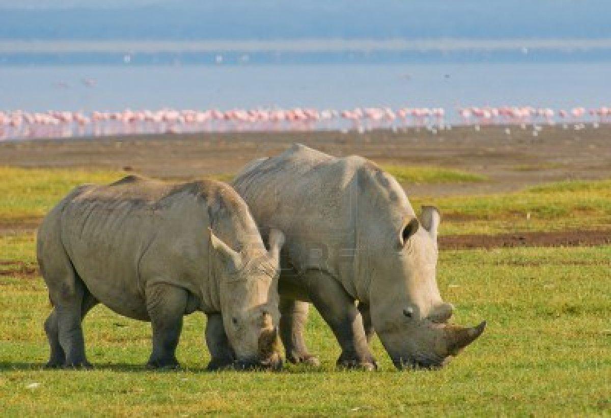 http://us.123rf.com/400wm/400/400/javarman/javarman1108/javarman110800120/10410516-rinocerontes-en-el-parque-nacional-lago-nakuru-kenia.jpg