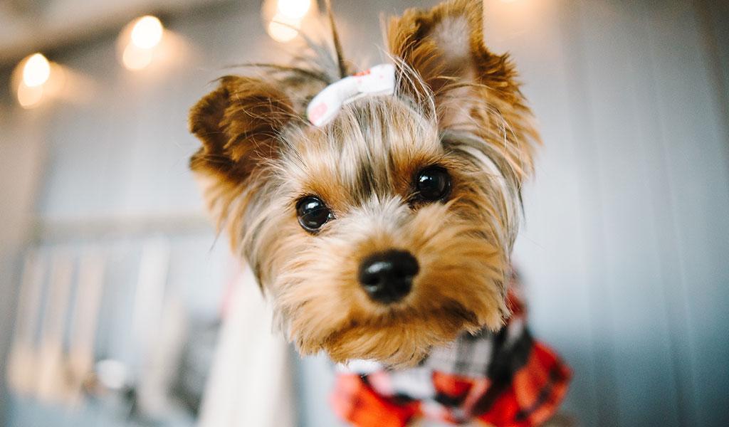 Собака породи йоркширський тер'єр