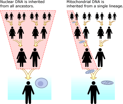 Os padrões de herança do DNA nuclear e mitocondrial permitem a genealogia genética.