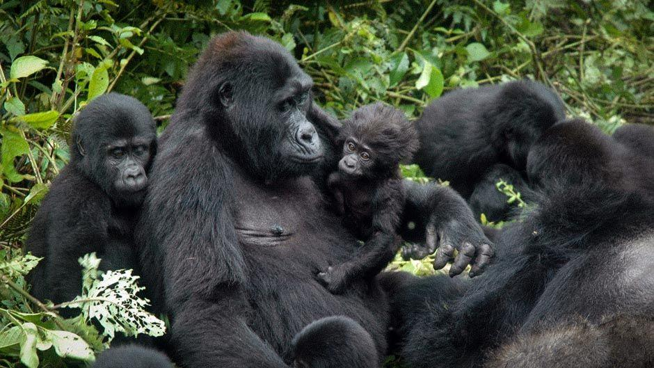 http://acaciasafari.co.ug/wp-content/uploads/2016/10/Uganda-Gorilla-Tour-Bwindi.jpg