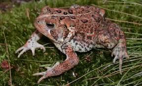 Species Profile: American Toad (Bufo [Anaxyrus] americanus) | SREL ...