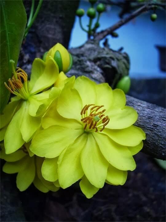 Cây cảnh của các loại mai vàng đẹp nhất - 6