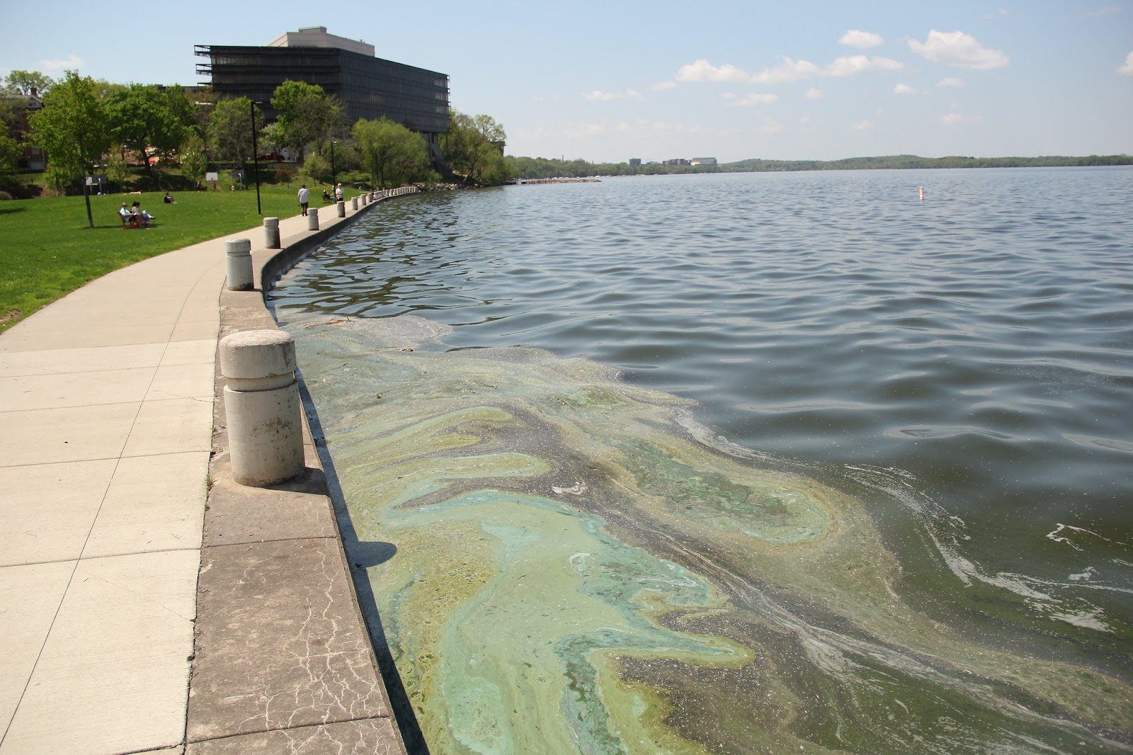 Cyanobacteria bloom at James Madison Park in Madison