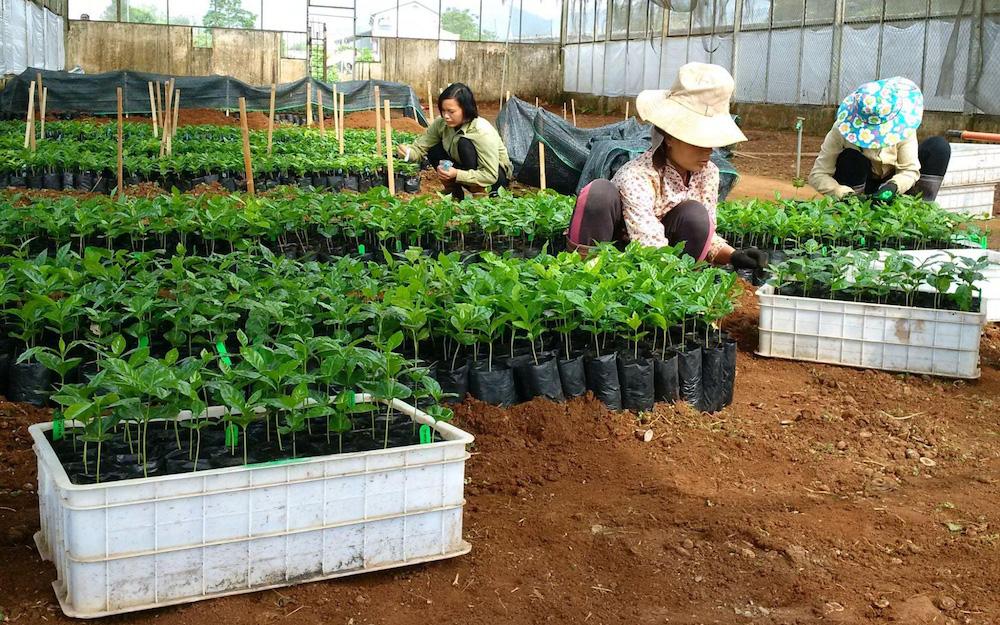 planting coffee seedlings