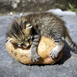Can Cats Eat Sweet Potatoes