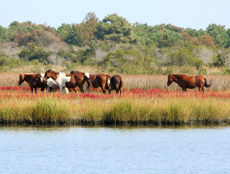 Free photo Assateague Marsh Ponies Wild Horses Herd Bog Swamp ...