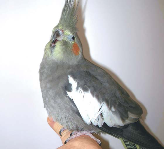 Prior to handling this dyspneic female cockatiel oxygen is warranted