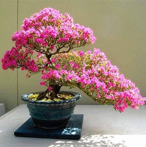 Bonsái de Cerezo en flor