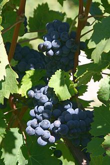 Cabernet Franc Grape