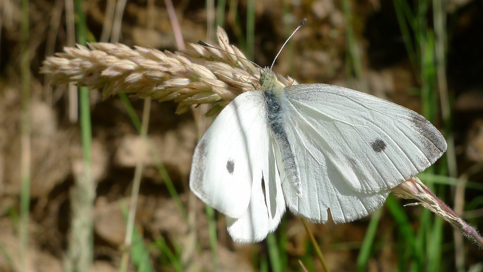 """A male cabbage white butterfly from Dargo, Australia. The destructive """"cabbage worm"""" is the caterpillar stage of this butterfly. Chickens and songbirds are helpful in controlling these pests, while some people resort to swatting at them with a tennis racket"""