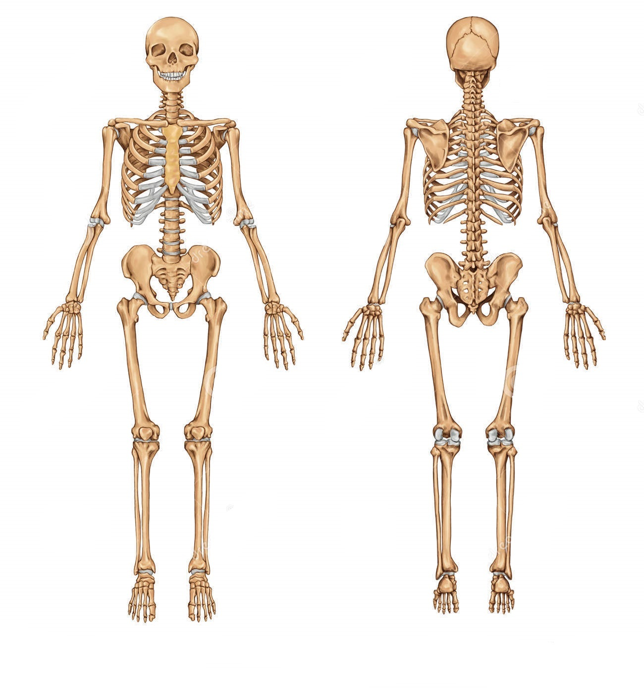 human-skeleton-posterior-anterior-view-didactic-board-anatomy-human-bony-system-29868489.jpg