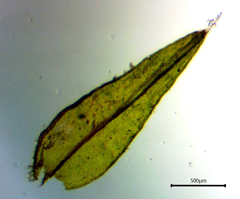 Scistidium apocarpum w hyalin tip cropped.jpg
