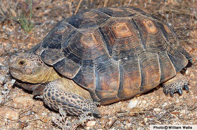 http://www.reptilesofaz.org/Graphics/Turtles-Amphibians/GOPAGA-WWells08.jpg