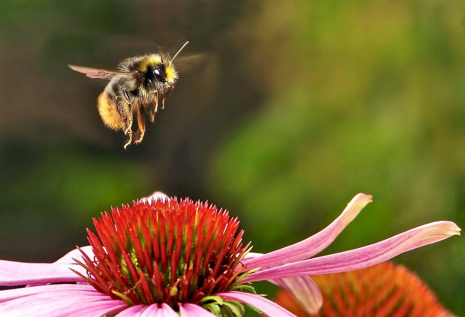 bumblebee-951083_960_720.jpg