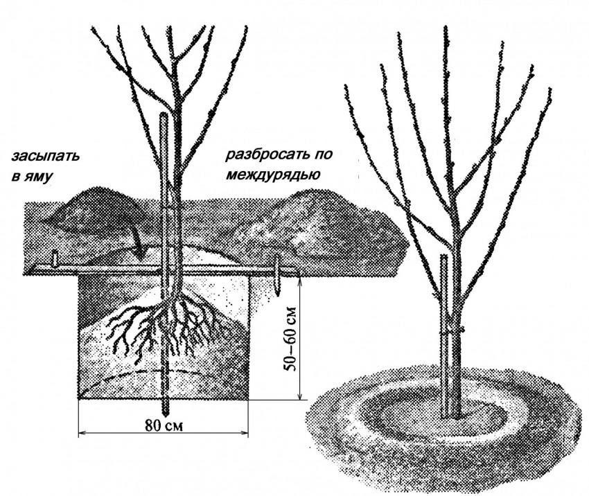 Схема посадки черешни