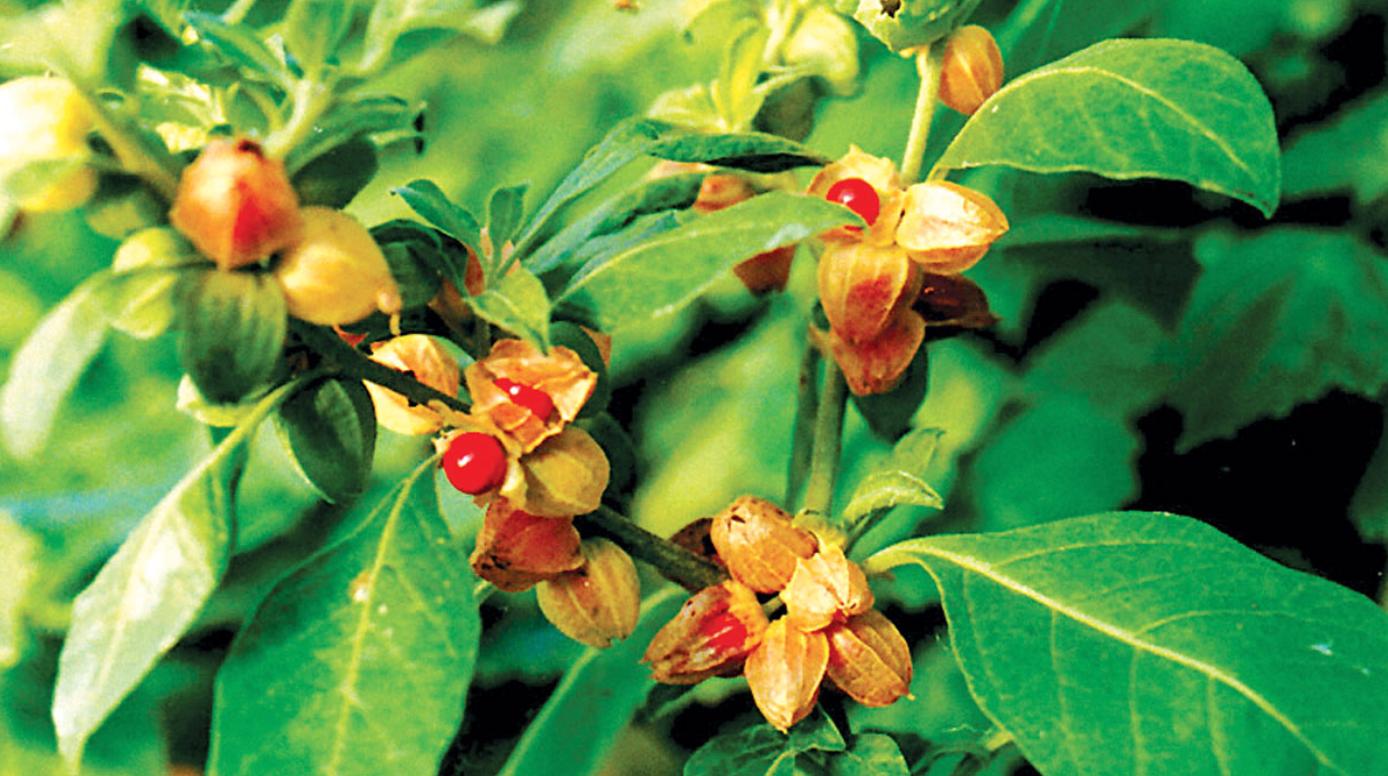 Ashwagandha Plant - Harmony Veda
