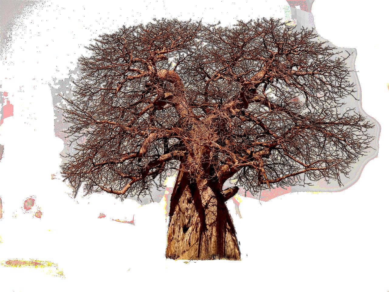 Affenbrotbaum (7 interessante Fakten)