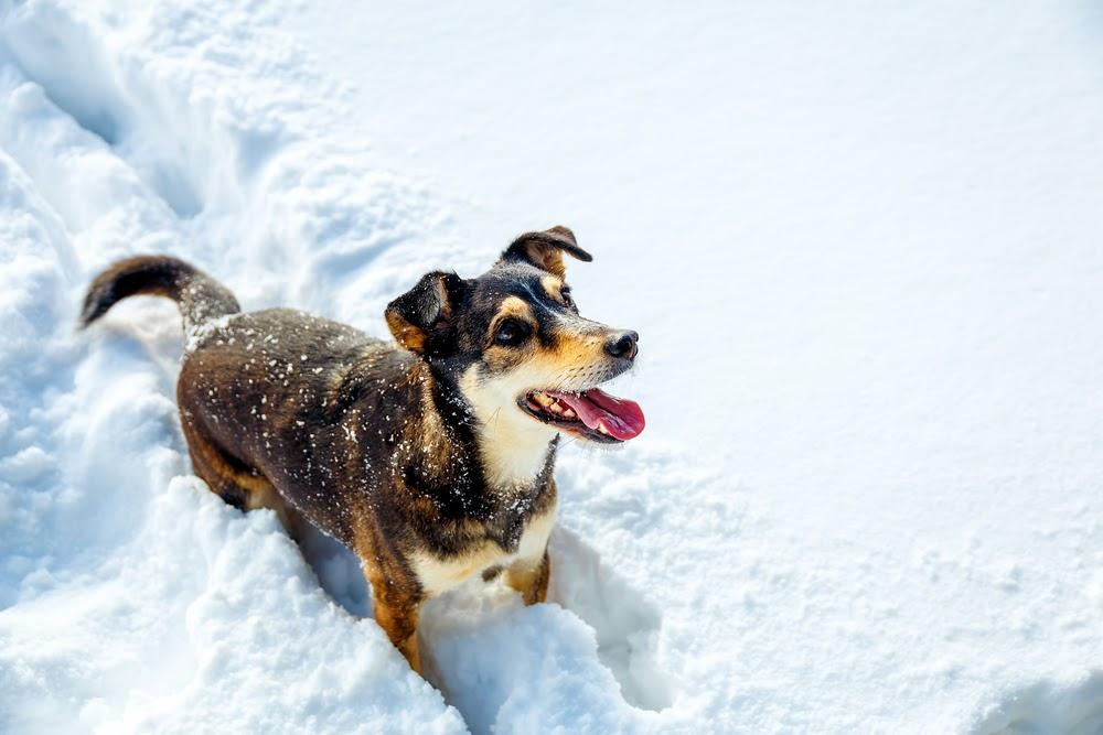 A dog that is standing in the snow  Description automatically generated