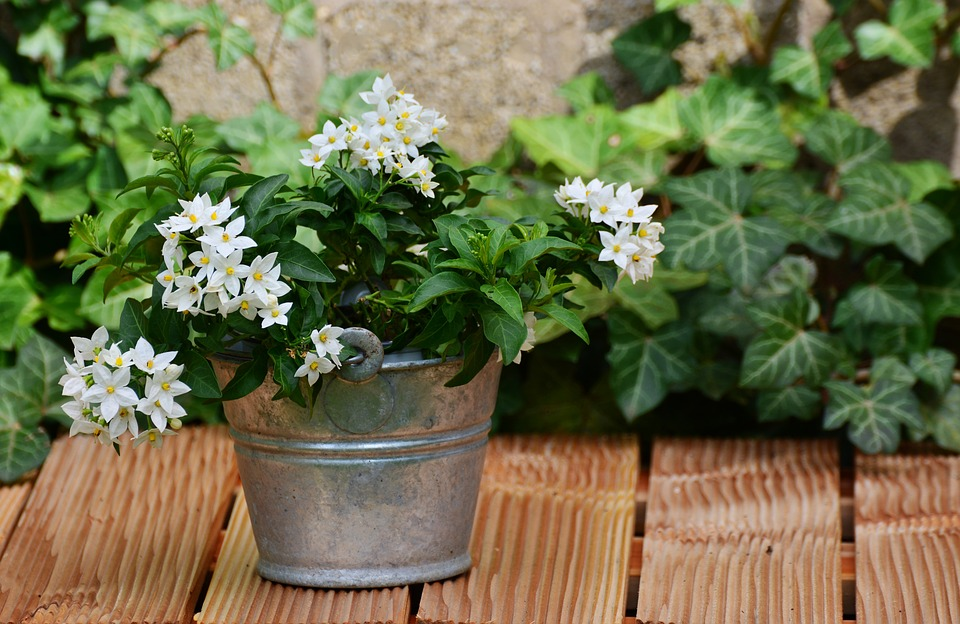 Jasmine plant (small white flowers with green leaves) in a tin sitting on wooden planks.