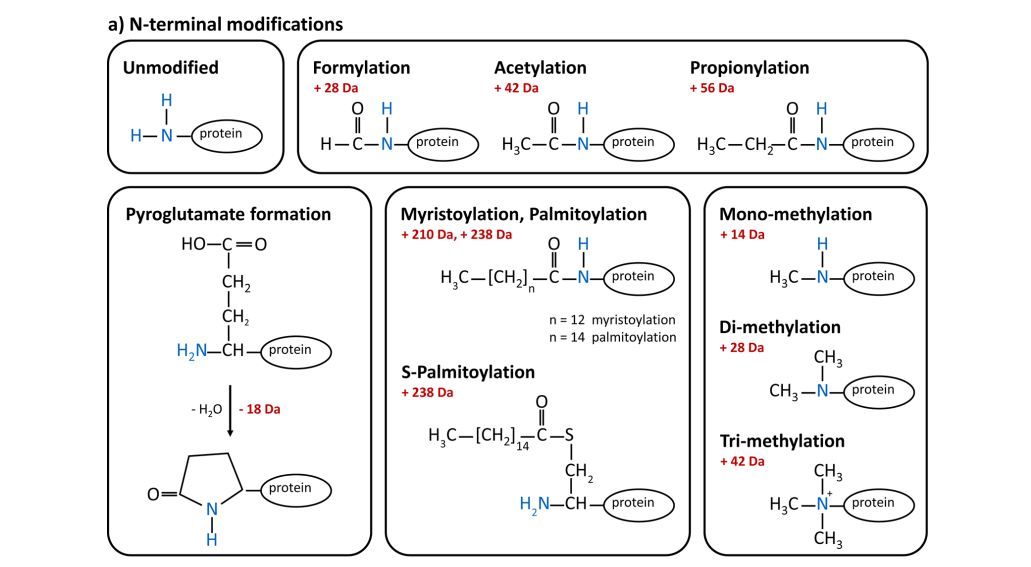 Protein conjugation chemistry utilizes functional groups that react with the N terminus