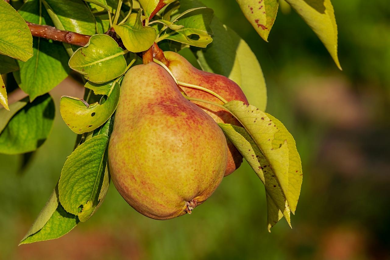 Pera recebe manejo especial em região de clima quente
