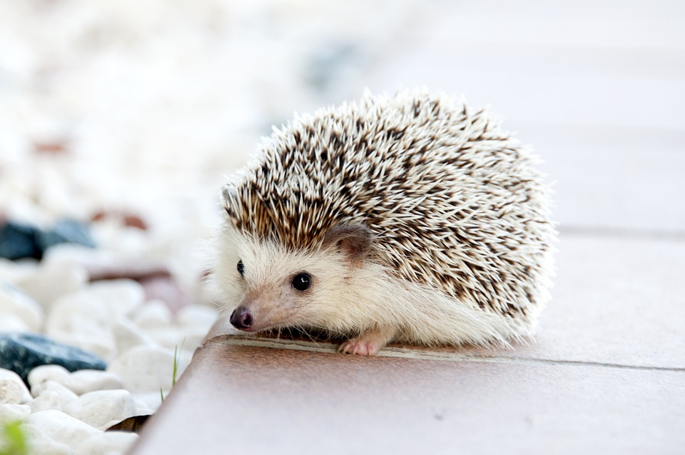 hedgehog-468228_960_720.jpg