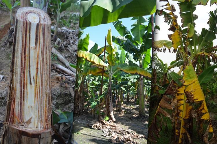 A medida visa proteger lavouras paranaenses de doenças como o mal do Panamá, causado pela praga Foc R4T. (Fonte: Mapa/Reprodução)