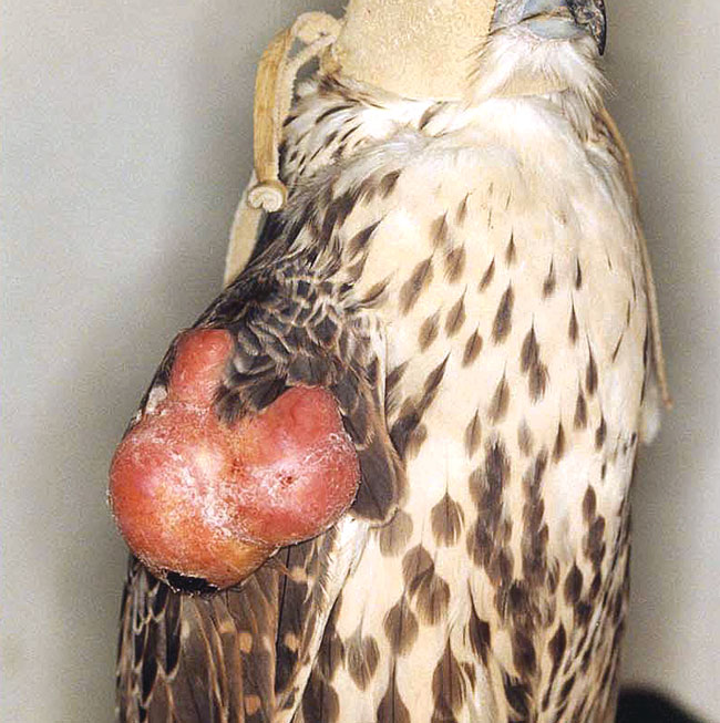 A large lipoma near the shoulder joint of a saker falcon