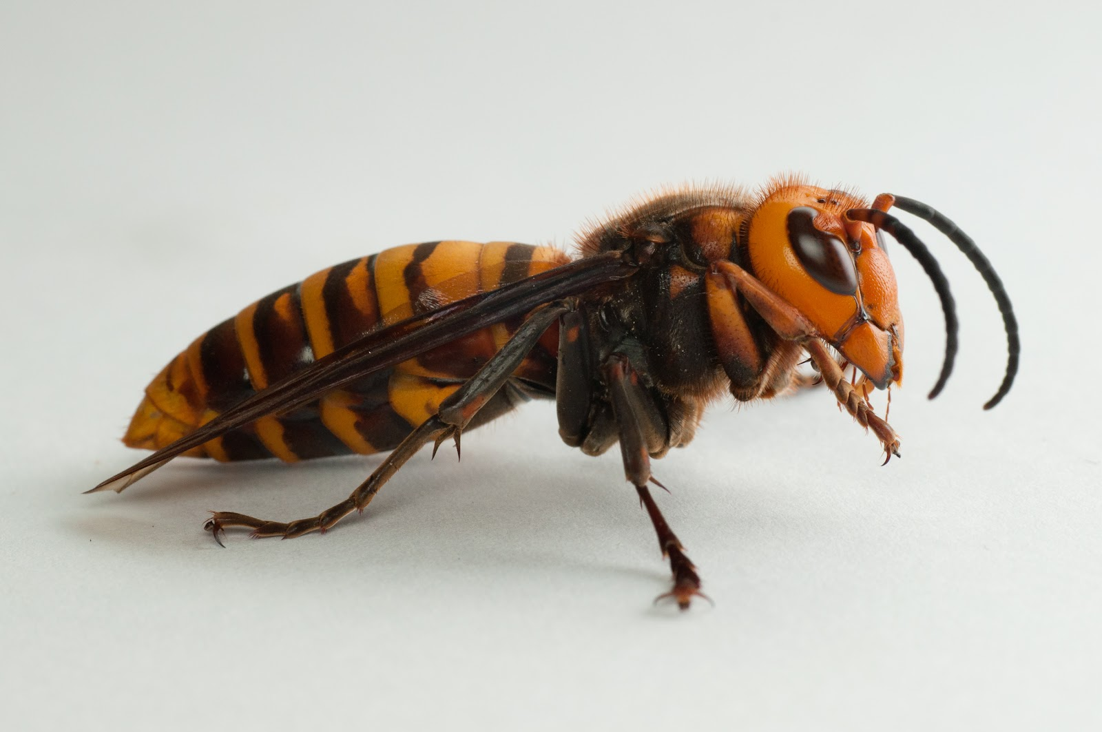 Japanese giant hornet - Wikipedia