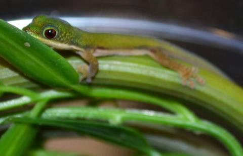 Image result for lined day gecko