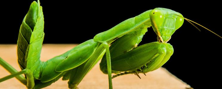 فرس النبي Mantis - حشرة نافعة للنبات