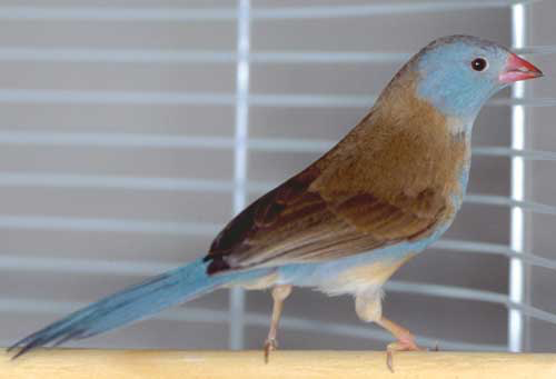 The appealing cordon bleu finch has become expensive due to bans on wild-caught birds and aviculture challenges