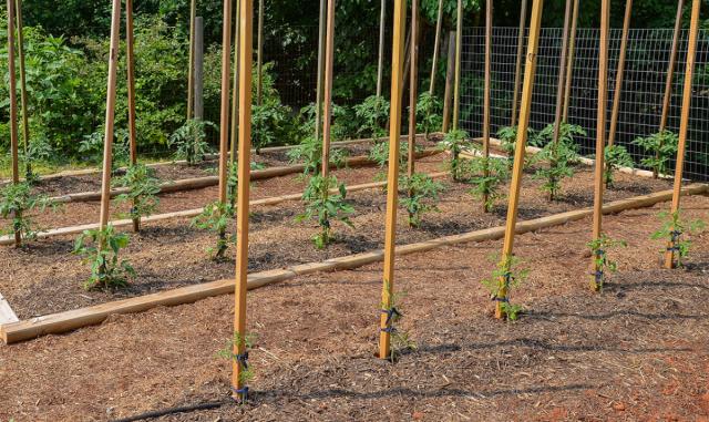 Подвязка томатов к опоре