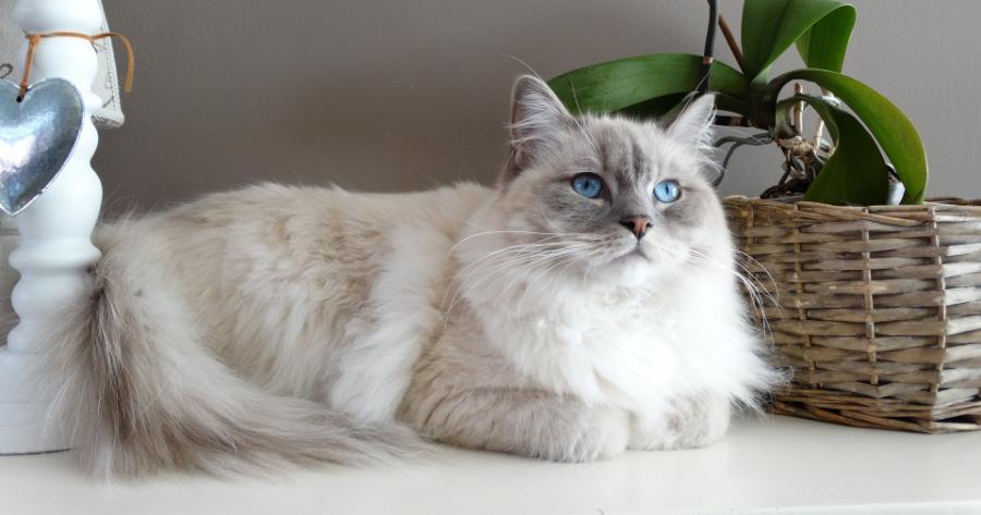 gatto-ragdoll-bianco
