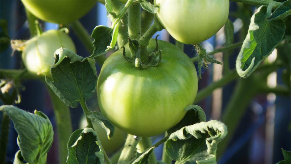 Wizbang Green Tomatoes.jpg