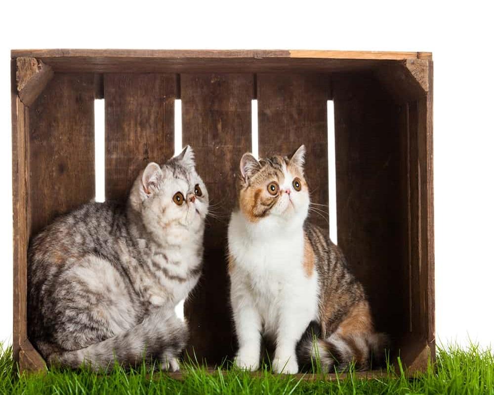 نژادهای مطرح گربه در ایران 6