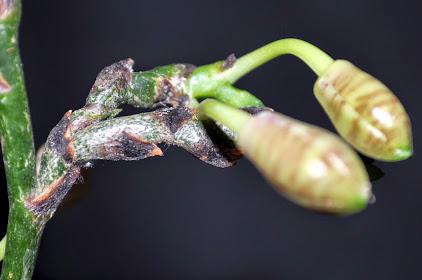 Phalaenopsis Telu SKGmNFqeOG0EK9yS4pv4yME11DMwEzzh2u9icby0_V8=w422-h280-p-no