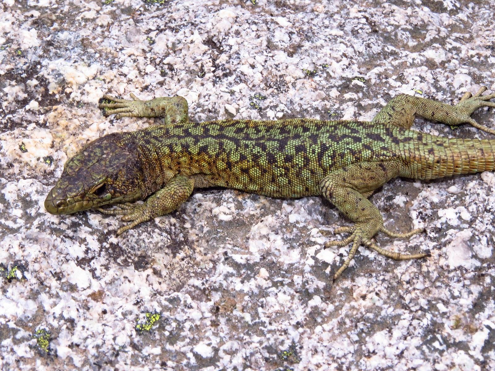 Bedriaga's rock lizard.jpg