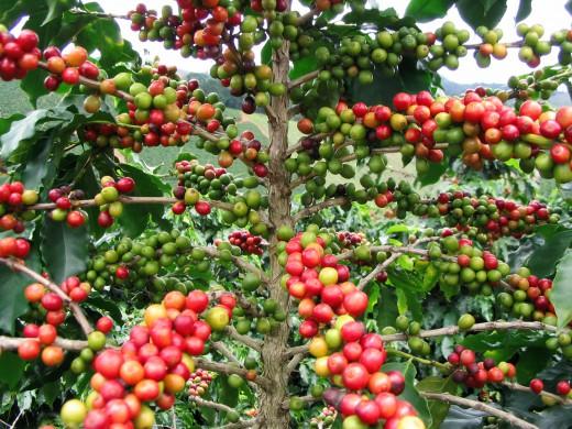 http://images.giacaphe.com/2010/12/arabica-coffee.jpg
