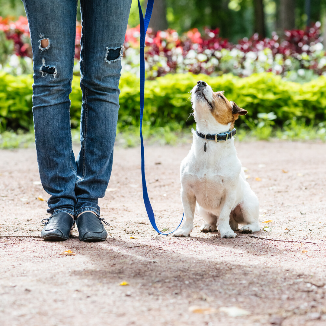 Dog looking up at owner while on leash