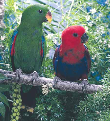 Eclectus parrots (Eclectus roratus) are the most pronounced example of sexual dimorphism: the female is red and the male is green. Eclectus appear to have some unique disorders that are not yet fully understood