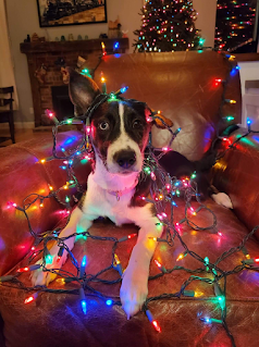 Ziggy helping with Christmas Decorating