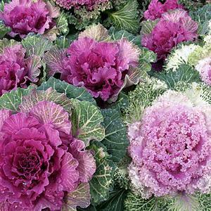 winter cabbage for garden