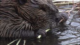 Munching beavers. Beavers will munch on practically anything.    Sometimes for food.