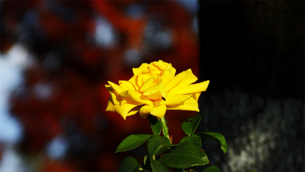 Yellow w Fly and Red leaves.jpg